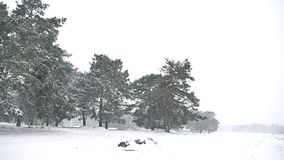 Snowstorm blizzard in the woods nature snowing winter, Christmas tree and pine forest landscape. Snowstorm blizzard in woods nature snowing winter, Christmas stock video footage