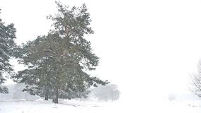 Snowstorm blizzard the woods nature snowing winter, christmas tree and pine forest landscape. Snowstorm blizzard woods nature snowing winter, christmas tree and stock video