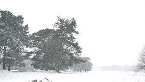 Snowstorm blizzard in the woods snowing nature winter, Christmas tree and pine forest landscape. Snowstorm blizzard in woods snowing nature winter, Christmas stock video