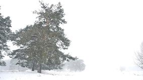 Snowstorm blizzard the woods snowing nature winter, christmas tree and pine forest landscape. Snowstorm blizzard woods snowing nature winter, christmas tree and stock video footage