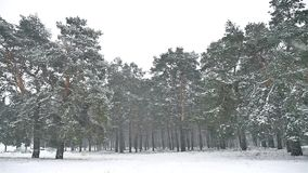 Snowstorm blizzard in the woods snowing winter, christmas nature tree and pine forest landscape. Snowstorm blizzard in woods snowing winter, christmas nature stock footage