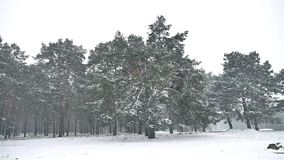 Snowstorm blizzard in the woods snowing winter, Christmas tree and pine forest landscape nature. Snowstorm blizzard in woods snowing winter, Christmas tree and stock video footage