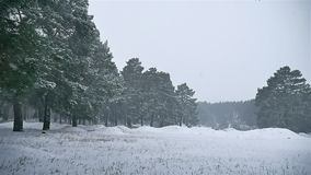 Snowstorm blizzard the woods snowing winter, christmas tree and pine forest nature landscape. Snowstorm blizzard woods snowing winter, christmas tree and pine stock footage