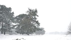 Snowstorm blizzard in the woods snowing winter nature, Christmas tree and pine forest landscape. Snowstorm blizzard in woods snowing winter nature, Christmas stock footage