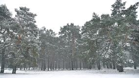 Snowstorm blizzard in the woods snowing winter, nature christmas tree and pine forest landscape. Snowstorm blizzard in woods snowing winter, nature christmas stock footage