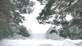 Snowstorm blizzard the woods snowing winter, nature christmas tree and pine forest landscape. Snowstorm blizzard woods snowing winter, nature christmas tree and stock footage