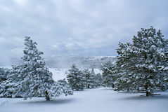 After snowstorm c. Beautiful winter landscape with pines after snowstorm Stock Photography