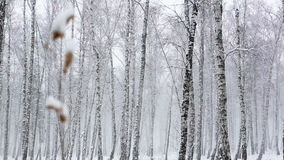 Snowstorm in the Dense Forest stock video footage
