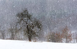 Snowstorm meadow. Snow storm with large snowflakes surprised all trees in the meadow royalty free stock image
