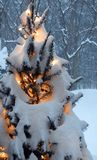 Snowstorm morning shows trees covered in snow. Morning light shows pine tree covered in twinkle lights and snow from overnight snowstorm. Finger Lakes of NYS stock image