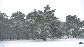 Snowstorm nature blizzard in the woods snowing winter, Christmas tree and pine forest landscape. Snowstorm nature blizzard in woods snowing winter, Christmas stock video