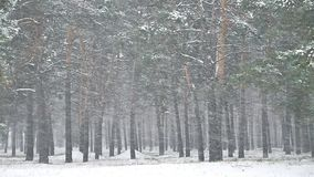 Snowstorm nature blizzard the woods snowing winter, christmas tree and pine forest landscape. Snowstorm nature blizzard woods snowing winter, christmas tree and stock video