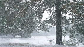 Snowstorm the nature woods blizzard snowing winter, christmas tree and pine forest landscape. Snowstorm nature woods blizzard snowing winter, christmas tree and stock video
