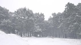 Snowstorm nature the woods blizzard snowing winter, christmas tree and pine forest landscape. Snowstorm nature woods blizzard snowing winter, christmas tree and stock footage