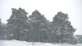 Snowstorm the nature woods snowing blizzard winter, christmas tree and pine forest landscape. Snowstorm nature woods snowing blizzard winter, christmas tree and stock video footage