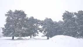 Snowstorm nature the woods snowing blizzard winter, christmas tree and pine forest landscape. Snowstorm nature woods snowing blizzard winter, christmas tree and stock footage
