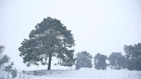 Snowstorm nature the woods snowing winter blizzard, christmas tree and pine forest landscape. Snowstorm nature woods snowing winter blizzard, christmas tree and stock footage