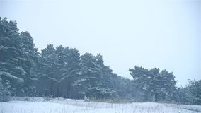 Snowstorm nature the woods snowing winter, blizzard christmas tree and pine forest landscape. Snowstorm nature woods snowing winter, blizzard christmas tree and stock video