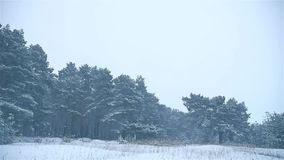 Snowstorm the nature woods snowing winter, blizzard christmas tree and pine forest landscape. Snowstorm nature woods snowing winter, blizzard christmas tree and stock video footage