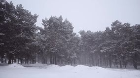 Snowstorm in the winter forest, pine trees covered with snow, beautiful winter landscape. Snowstorm in the winter forest, pine trees covered with snow stock video