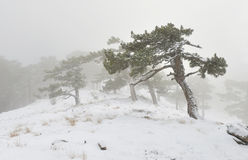 Snowstorm. In winter frozen forest Stock Photos