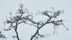 Snowstorm and winter tree. Grey sky. Snowstorm and winter tree. Grey sky stock footage