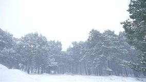 Snowstorm the woods blizzard nature snowing winter, christmas tree and pine forest landscape. Snowstorm woods blizzard nature snowing winter, christmas tree and stock video footage