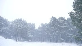 Snowstorm the woods blizzard snowing nature winter, christmas tree and pine forest landscape. Snowstorm woods blizzard snowing nature winter, christmas tree and stock video