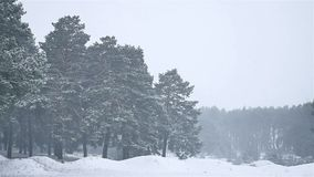 Snowstorm the woods blizzard snowing winter, nature christmas tree and pine forest landscape. Snowstorm woods blizzard snowing winter, nature christmas tree and stock footage