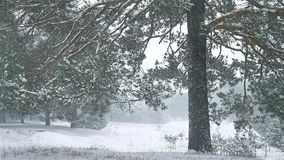 Snowstorm the woods nature blizzard snowing winter, christmas tree and pine forest landscape. Snowstorm woods nature blizzard snowing winter, christmas tree and stock video
