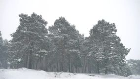 Snowstorm the woods nature snowing blizzard winter, christmas tree and pine forest landscape. Snowstorm woods nature snowing blizzard winter, christmas tree and stock video