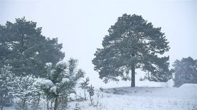 Snowstorm the woods nature snowing winter blizzard, christmas tree and pine forest landscape. Snowstorm woods nature snowing winter blizzard, christmas tree and stock video footage