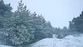 Snowstorm the woods nature snowing winter, blizzard christmas tree and pine forest landscape. Snowstorm woods nature snowing winter, blizzard christmas tree and stock footage