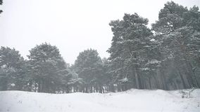 Snowstorm the woods snowing blizzard nature winter, christmas tree and pine forest landscape. Snowstorm woods snowing blizzard nature winter, christmas tree and stock video footage
