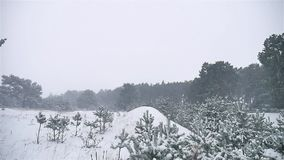 Snowstorm the woods snowing blizzard winter, christmas tree and pine forest nature landscape. Snowstorm woods snowing blizzard winter, christmas tree and pine stock video footage