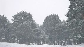 Snowstorm the woods snowing blizzard winter, nature christmas tree and pine forest landscape. Snowstorm woods snowing blizzard winter, nature christmas tree and stock video