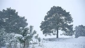 Snowstorm the woods snowing nature winter blizzard, christmas tree and pine forest landscape. Snowstorm woods snowing nature winter blizzard, christmas tree and stock video