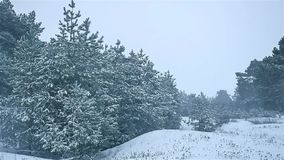 Snowstorm the woods snowing nature winter, blizzard christmas tree and pine forest landscape. Snowstorm woods snowing nature winter, blizzard christmas tree and stock video footage