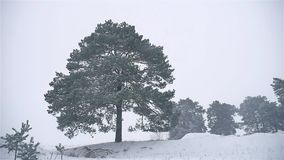 Snowstorm the woods snowing winter blizzard, christmas tree and pine forest nature landscape. Snowstorm woods snowing winter blizzard, christmas tree and pine stock video