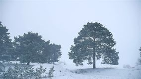 Snowstorm the woods snowing winter blizzard nature, christmas tree and pine forest landscape. Snowstorm woods snowing winter blizzard nature, christmas tree and stock video