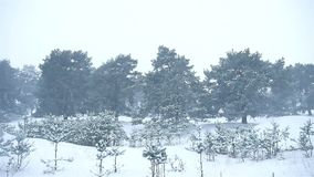 Snowstorm the woods snowing winter blizzard, nature christmas tree and pine forest landscape. Snowstorm woods snowing winter blizzard, nature christmas tree and stock footage