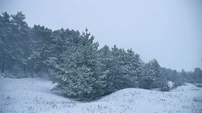 Snowstorm the woods snowing winter nature, blizzard christmas tree and pine forest landscape. Snowstorm woods snowing winter nature, blizzard christmas tree and stock video