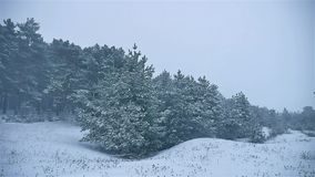 Snowstorm the woods snowing winter, nature blizzard christmas tree and pine forest landscape. Snowstorm woods snowing winter, nature blizzard christmas tree and stock footage