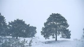 Snowstorm the woods snowing winter nature blizzard, christmas tree and pine forest landscape. Snowstorm woods snowing winter nature blizzard, christmas tree and stock video