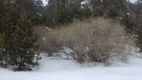Snowstorm in the woods in winter. Snowstorm in the woods in the winter stock video