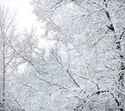 snowtrees Royaltyfria Bilder