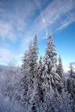 snowtrees under Royaltyfri Bild