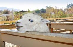 Snowwhite lama Stock Foto