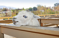 Snowwhite llama Stock Photo