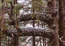 Ветви дерева Snowy стоковые изображения